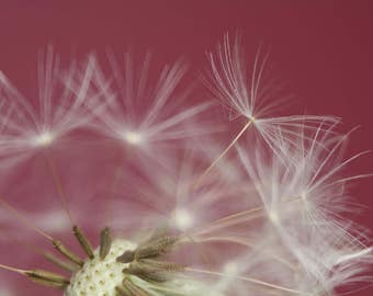 Flower Photography, Dandelion Seed Head, Flower Photo, Fine Art Print, White Flower, Floral Photography, Close Up, Studio, Red Background