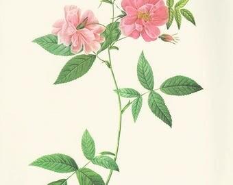 Climbing Marsh Rose art print vintage antique wall art pink flower art print Victorian art print antique rose art rose print prints 70