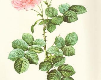 Dawn Damask Rose art print vintage antique wall art pink flower art print Victorian art print antique rose art rose print prints 54