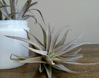 Tillandsia Harrisii / Silver Medium Air Plant, Gray Air Plant