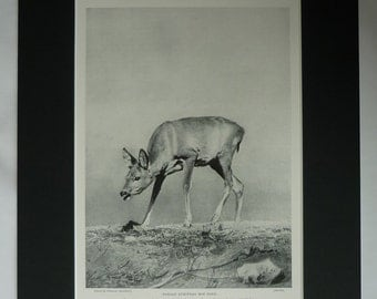 1901 Antique Roe Deer Print, European Nature Gift, Wildlife Decor, Available Framed, Animal Art, Old Victorian Natural History Photography