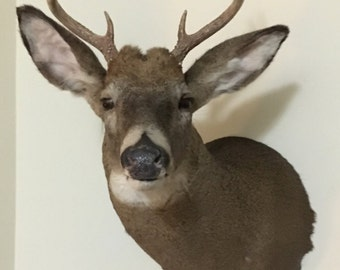 Made by me! Taxidermy Deer Head Buck Shoulder Mount