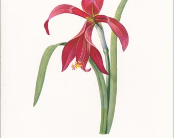 amaryllis red flower vintage botanical print gardening gift by Pierre-Joseph Redouté  7 x 9.25 inches