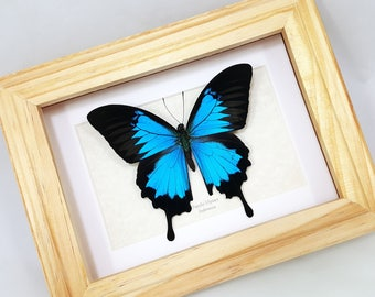 FREE SHIPPING Framed Real Papilio Ulysses Blue Mountain Swallowtail Butterfly Taxidermy High Quality A-/A2 Metallic Blue Great for Gift