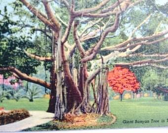 Florida Postcard,Bamuam Tree Florada,Tree Postcard,Vintage Postcard,Vintage Florida Postcard,Travel Collectible,Vintage Florida,Scrapbook