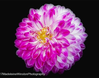 Close up of a Pink and White Chrysanthemum