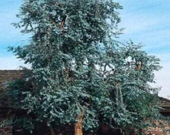 500 Bulk Eucalyptus Seeds Silver Dollar Tree Seeds