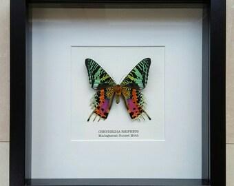 Madagascan Sunset Moth Frame (underside)
