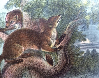 1896 Pine Marten Antique Print, Mounted, Matted & Ready to Frame