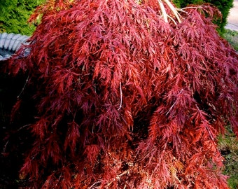 Red Dragon Red Dragon Weeping Lace Leaf Japanese Maple. 2 - Year Live Plant