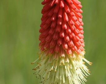 50 Torch Lily / RED HOT POKER Tritoma Kniphofia Seeds