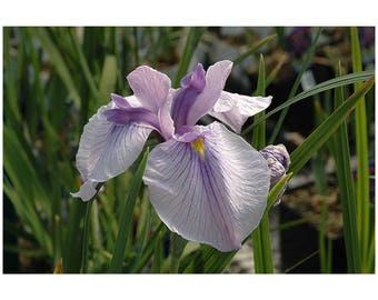 "Imperial Magic Iris, Japanese Iris, Violet and White Flowers, 1 Potted Plant 4"" Pot, Perennial, Fragrant, Massive Blooms, Garden, Landscape"