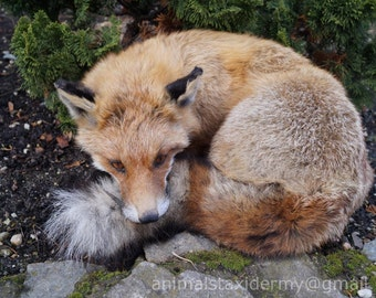 Sleeping Red Fox Taxidermy