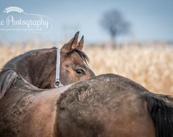 Moonlight in the Corn Field - Fine art horse photography