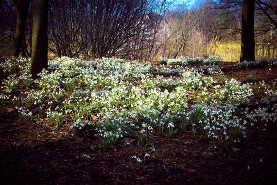 Snowdrops, Glasgow Park, Park Photography, Flower Photography, Nature Photography, Flower, Wall Art, Wall Decor, Fine Art Photography