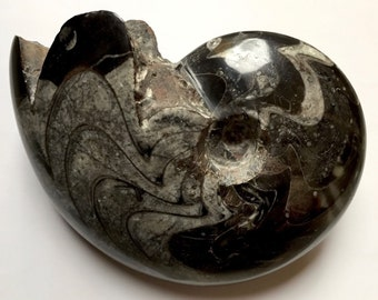 Polished fossil Ammonite of the Morocco