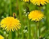 The Dandelion Herb Seeds/Taraxacum Officinale/Perennial   100+