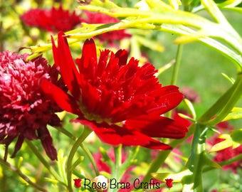 Red Chrysanthemum, My Garden, BC, Nature Photography