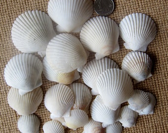 Seashells- SCALLOP shells- CREAM color-Beautiful! -Shells, Coastal Decor, Beach Decor, Nautical Decor, Florida