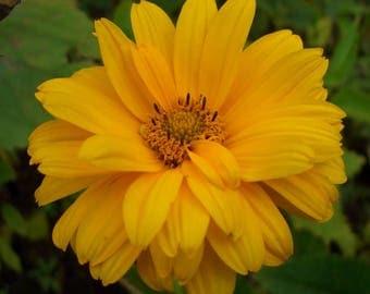 Heliopsis 'Summer Sun' Live Plant
