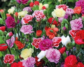 Free Shipping!! Carnation seeds mix (Dianthus caryophyllus )- 40 to 50 seeds , 0,25grams . Exotic flower