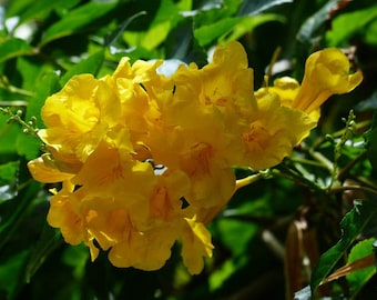 Tecoma stans Yellow Bells (Yellow Trumpet Bush) 20 Seeds D20to