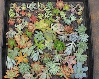 5 Succulent cuttings. 1 Echeveria , 1 Sedum, 1 Sempervivum Hens n' Chicks + 2 assorted. 2 inch pots- most = cuttings, some rooted