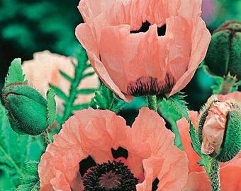 "Poppy ""Princess Victoria Louise"" Seeds / British Poppies / Papaver orientale"