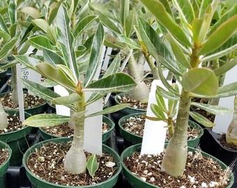 Adenium plant 5 Pack rare Seedlings size succulent plant Desert rose