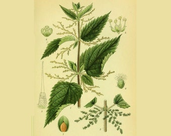 Tea nettle (leaf) - joint, Remineralizing, diuretic