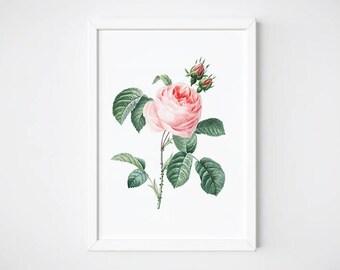 Wall Art, Rose, Watercolor Print, Printable Art, Botanical Print, Botanical Art, Botanical Poster, Rustic Home Decor   Rosa centifdia