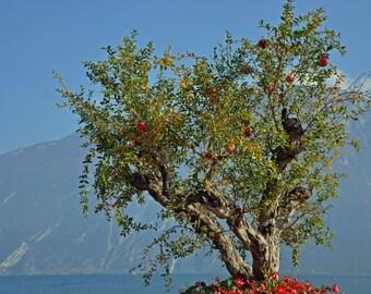 20 seeds of Pomegranate Fruit Tree Punica granatum malus Granada Apple Bonsai