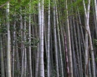 100 seeds / seeds of Moso bamboo - Hardy / Hardy top quality