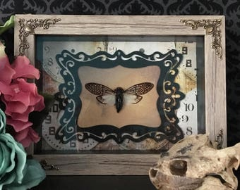 Lace Cicada Shadowbox Taxidermy Framed Insect