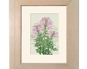 Spider Flower-Cleome - Framed- FHWhite