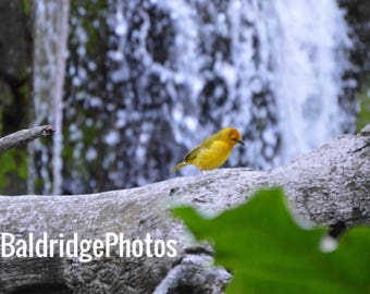 Golden Weaver Photo
