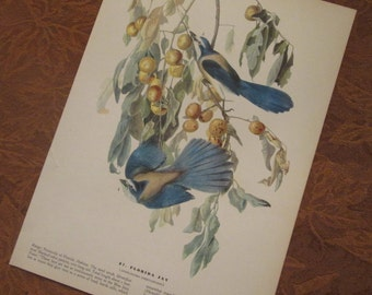 Vintage Bird Illustration - Audubon Book Plate - Florida Jay