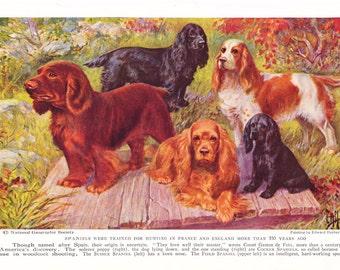 1930s Sussex Field Spaniel Dog Print -  Vintage Antique Animal Pet House Home Decor Book Plate Art Illustration for Framing