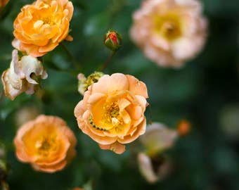 Texas Rose Photograph
