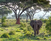 Bull Elephant in the Forest Tanzania Africa Fine Art Panoramic Print