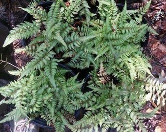 Japanese Painted Fern  .. gallon .. 6 Plants