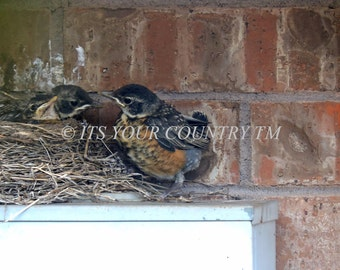 Robin Baby Birds Leaving the Nest Photograph, Instant Digital Bird Image Download, Fledglings, Wildlife Nature Photography itsyourcountry