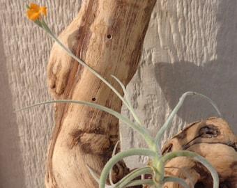 Tillandsia Crocata Orange Flower Air Plants