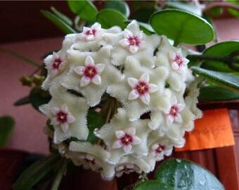 Hoya cv Mathilde- Live Succulent plant- Live Plant -  - Rooted