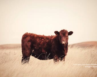 Red Angus Cow On Grassy Montana Prairie | Farm & Ranch Animal | Cattle | Home Decor Fine Art Photograph Print | Veterinarian Wall Art
