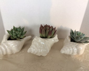 Succulent Set of Three Iridescent Shells, Three Plants and soil, DIY Kit.