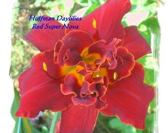 "Daylily, ""Red Supernova"",double fan, perennial"