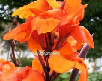 3 Canna Lily Wyoming Bulbs/ Rhizomes