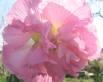 CONFEDERATE (or Southern) ROSE, Hibiscus mutabilis, Pink, 1 plant
