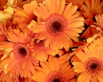 ADGRO) ROYAL ORANGE Gerbera Daisy~Seed!!~~~~~~~~Vivacious Beauty!!